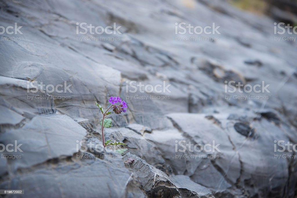 Phacelia blooming on Marble Canyon wall stock photo