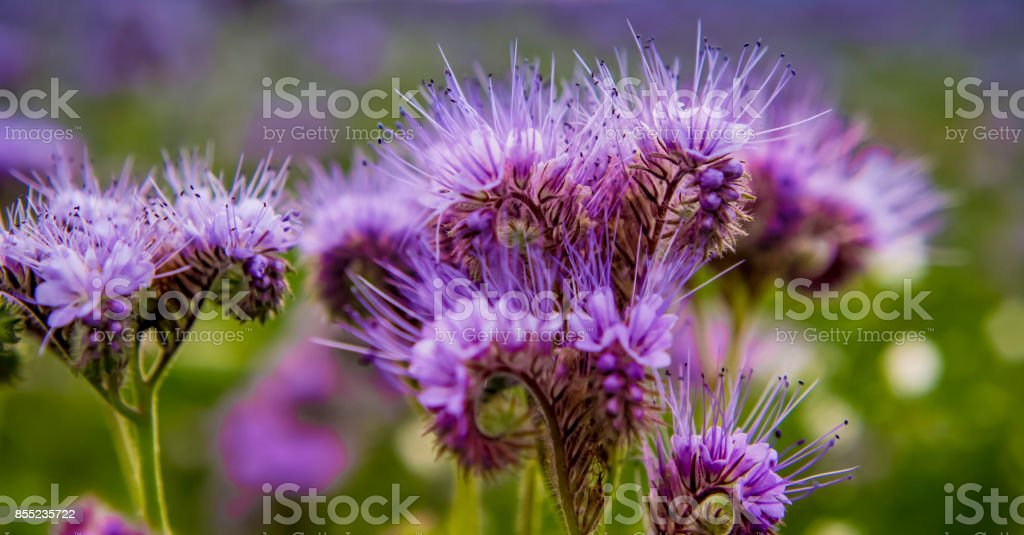 Phacelia flowers blooming violett Nature field flowers Close up stock photo