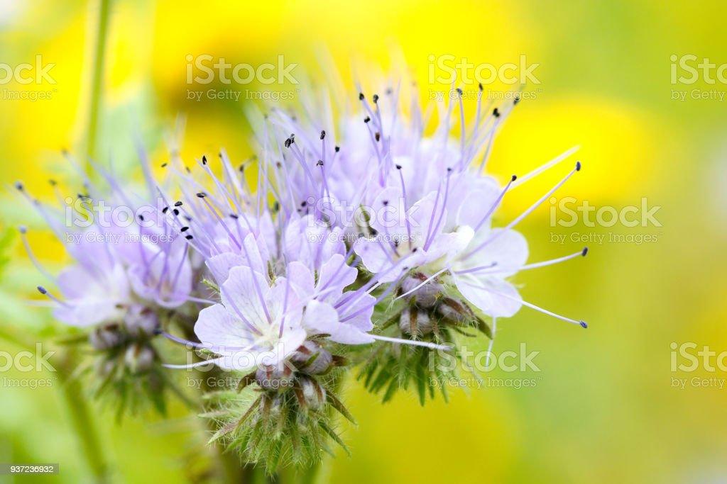 Phacelia flowers blooming violett Nature field flowers stock photo