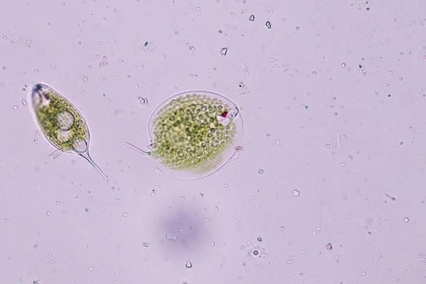 phacus is a genus of unicellular protists, of the phylum euglenozoa. - amiba imagens e fotografias de stock