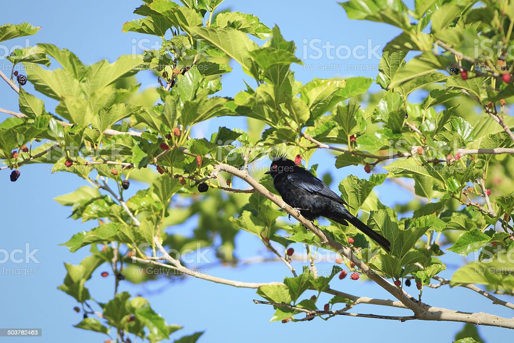 Phainopepla in Mulberry Tree royalty-free stock photo