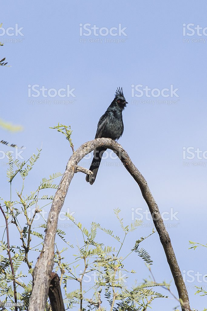 Phainopepla on Arched Branch royalty-free stock photo