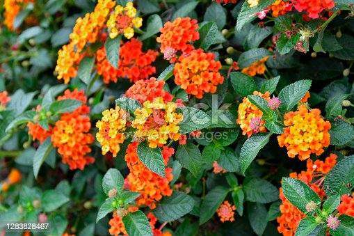 Phakrong is a plant of the Verbenaceae family and is native to the Americas. Is a shrub or semi-ivy shrub. The flowers are clustered in many colors, if eaten, causing abdominal pain