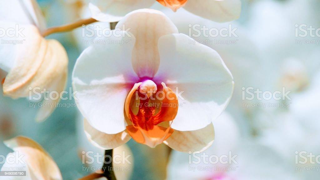 Phalaenopsis Amabilis Orchid Flower stock photo