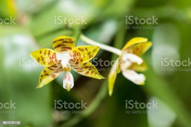 Foto de Phalaenopsis Amboinensis Orquídeas Closeup e mais fotos de stock de Amarelo