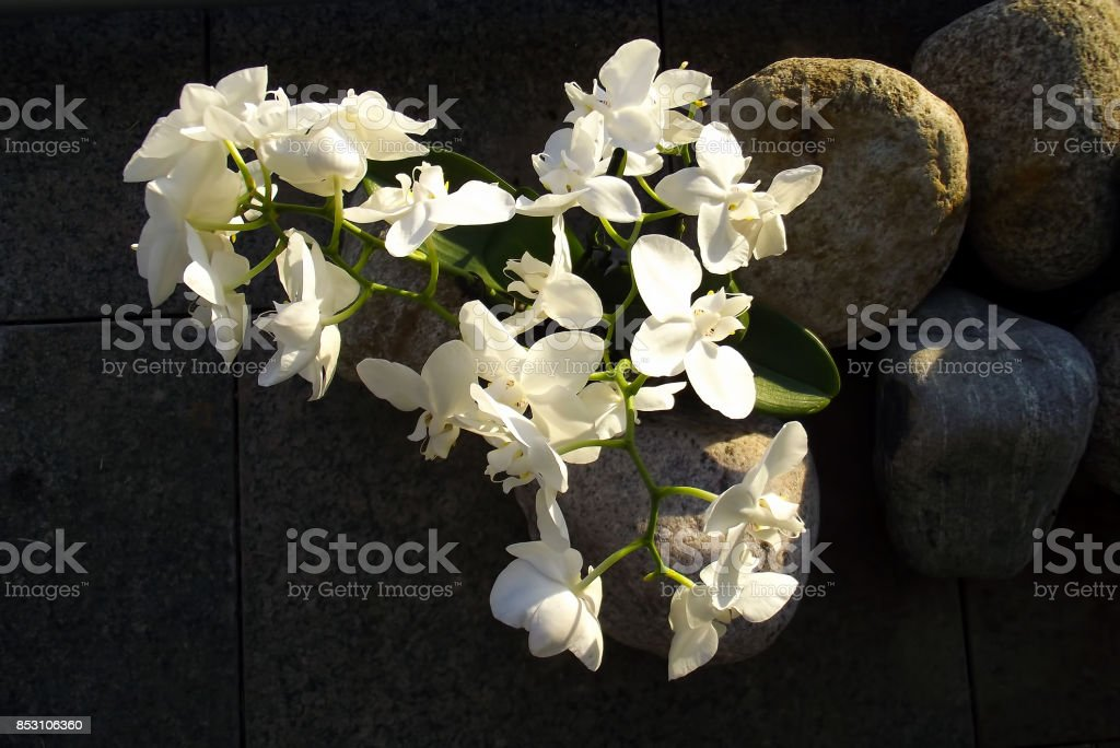 Phalaenopsis aphrodite stock photo