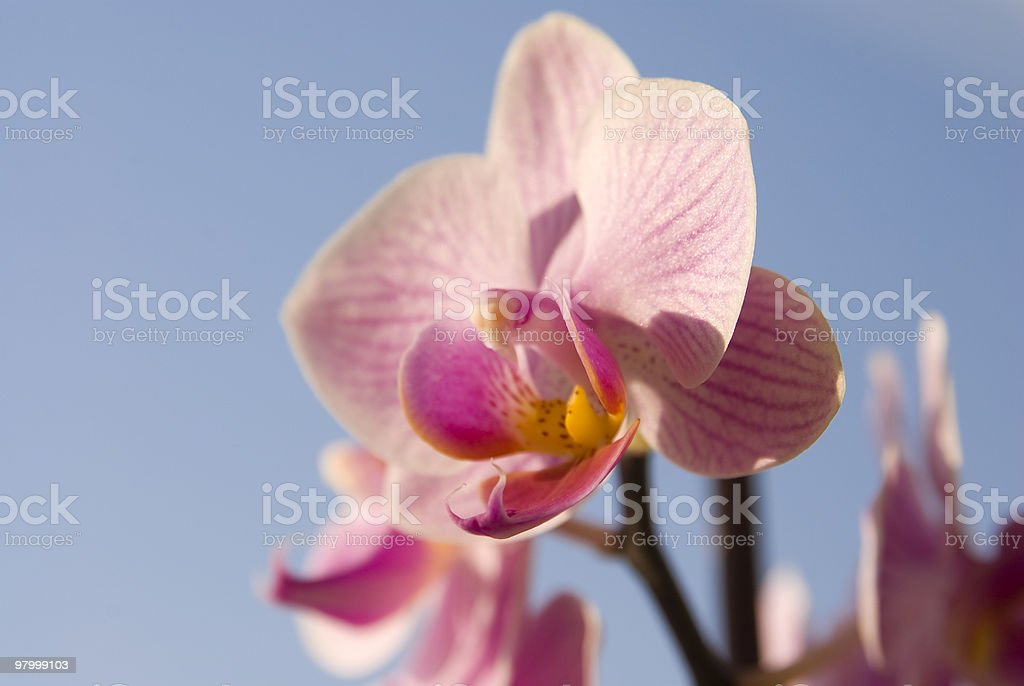 phalaenopsis close up royalty-free stock photo