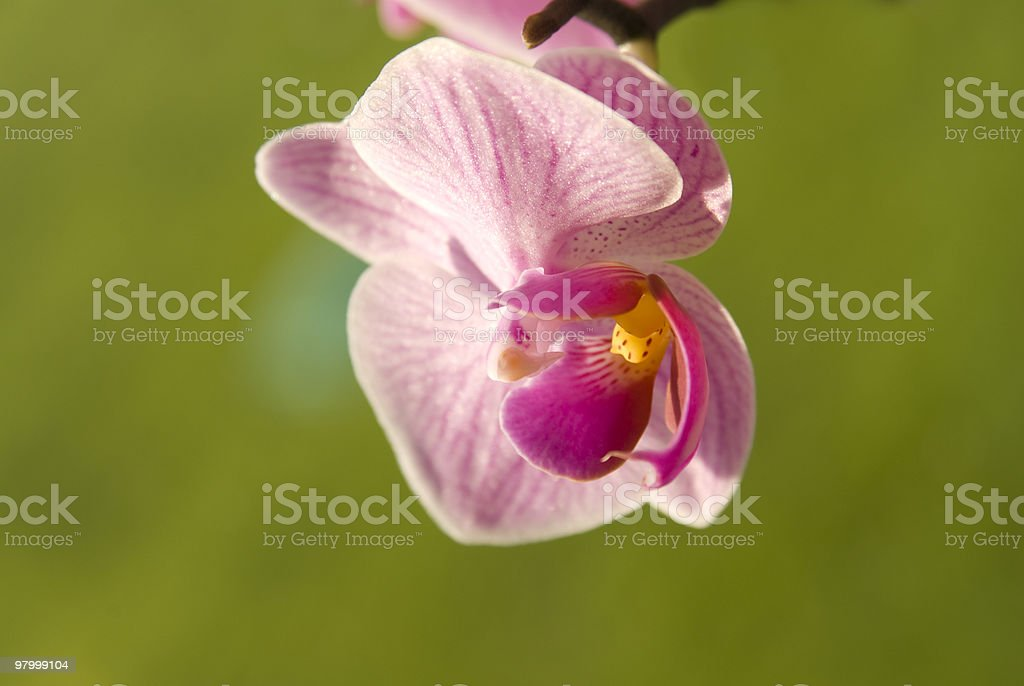 phalaenopsis close-up foto royalty-free