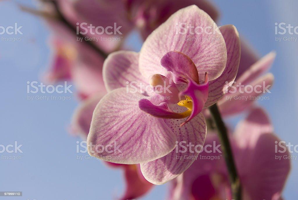 phalaenopsis close up royalty-free stock photo