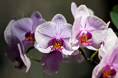 Soft pink Phalaenopsis blooms. Moth Orchid petals close-up. Tropical plants as home interior decorative element.