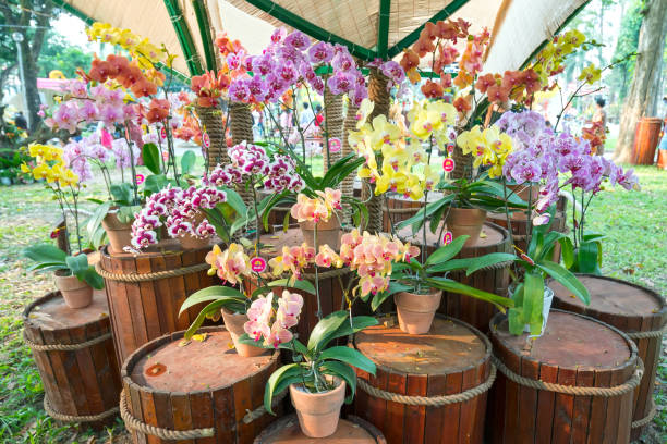 Phalaenopsis flowers blooming during the Spring Festival stock photo
