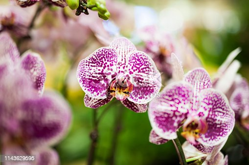 Phalaenopsis hybrid in garden