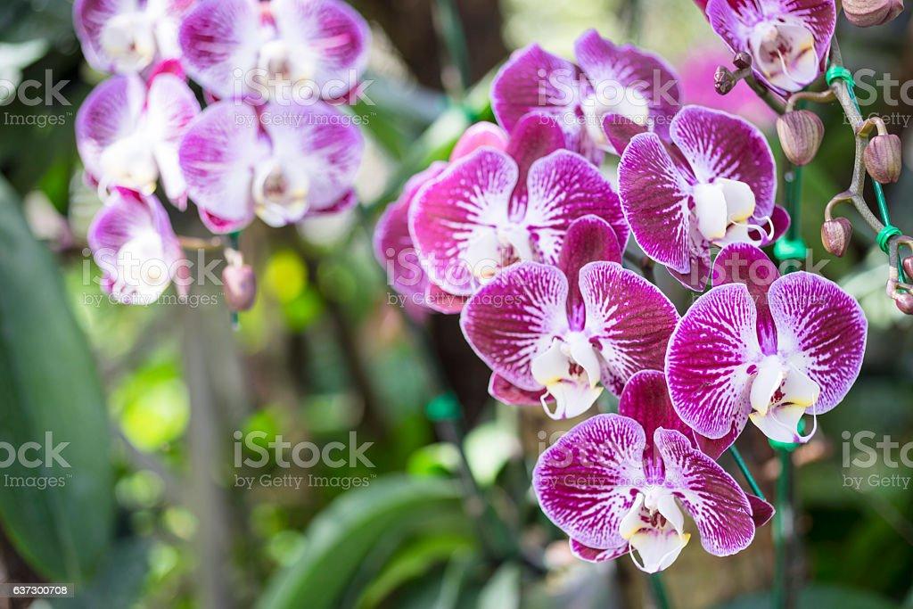 Phalaenopsis hybrid in garden stock photo