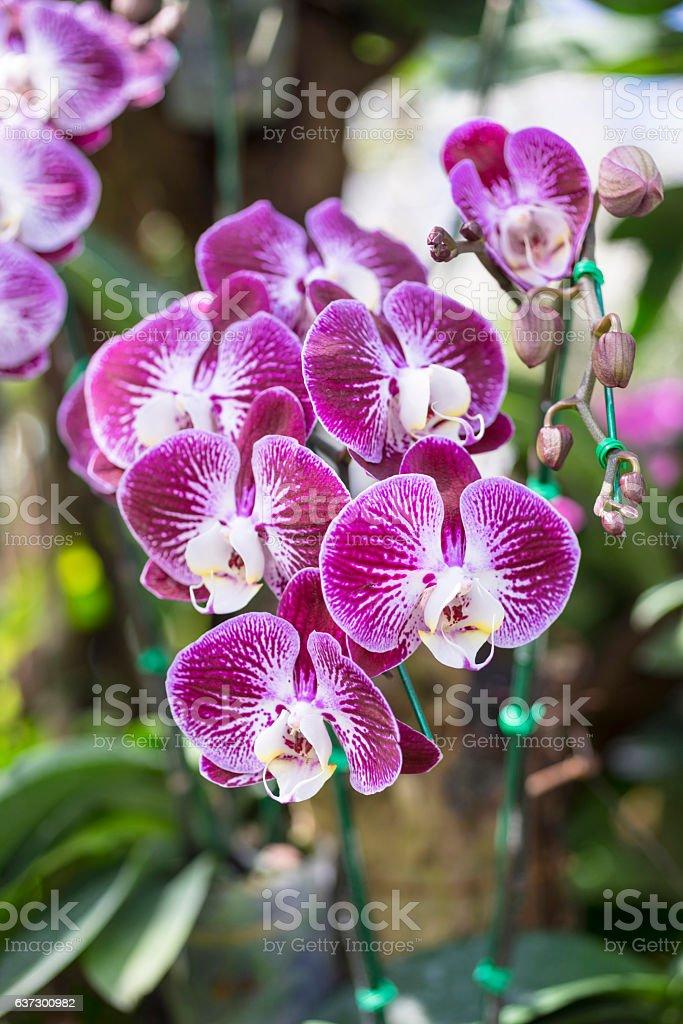 Phalaenopsis hybrid stock photo