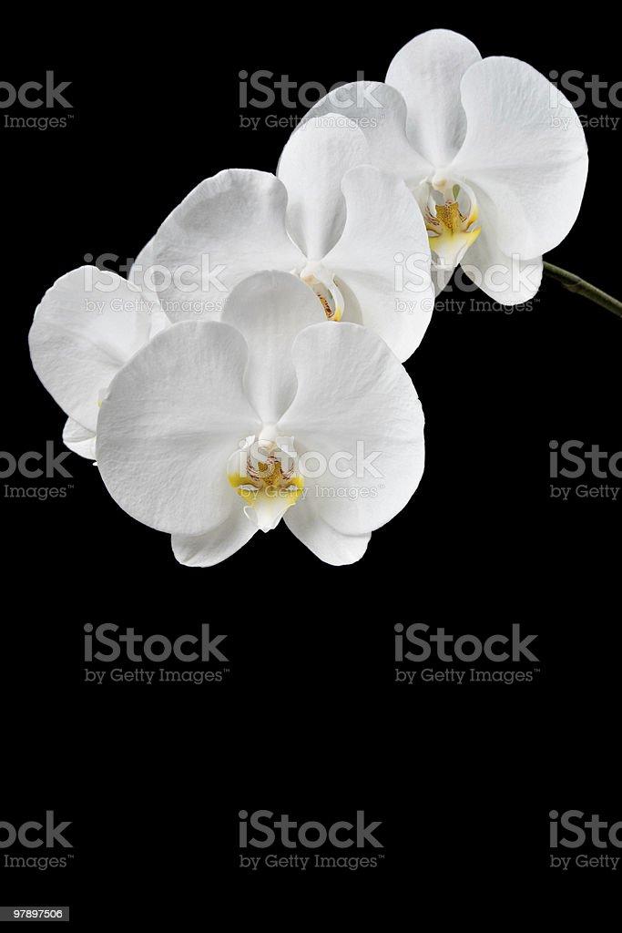 Phalaenopsis hybrid royalty-free stock photo