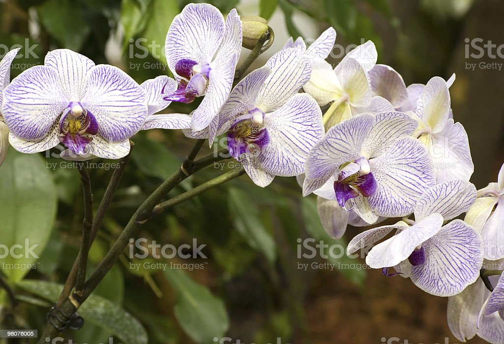 Phalaenopsis hybrid royalty-free stock photo