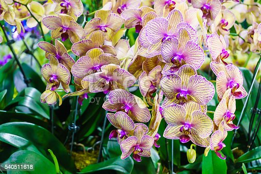 Phalaenopsis Kaleidoscope hybrid orchid