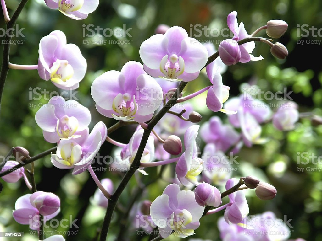 Phalaenopsis Nobby di Amy foto stock royalty-free