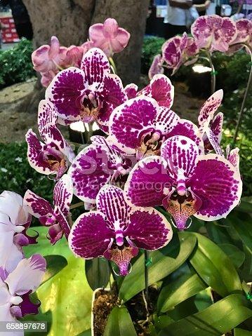 Phalaenopsis or Moth orchid flower.
