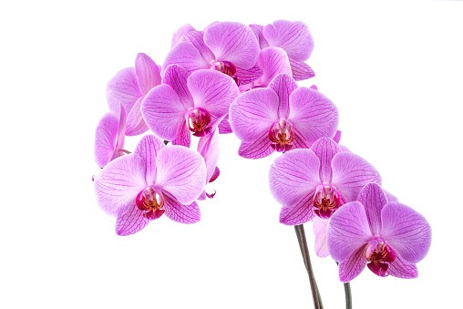 Phalaenopsis orchid blooming with blossom risp