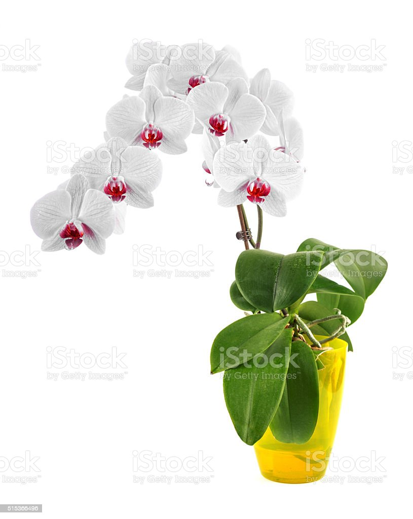 Phalaenopsis orchid blooming with blossom risp stock photo