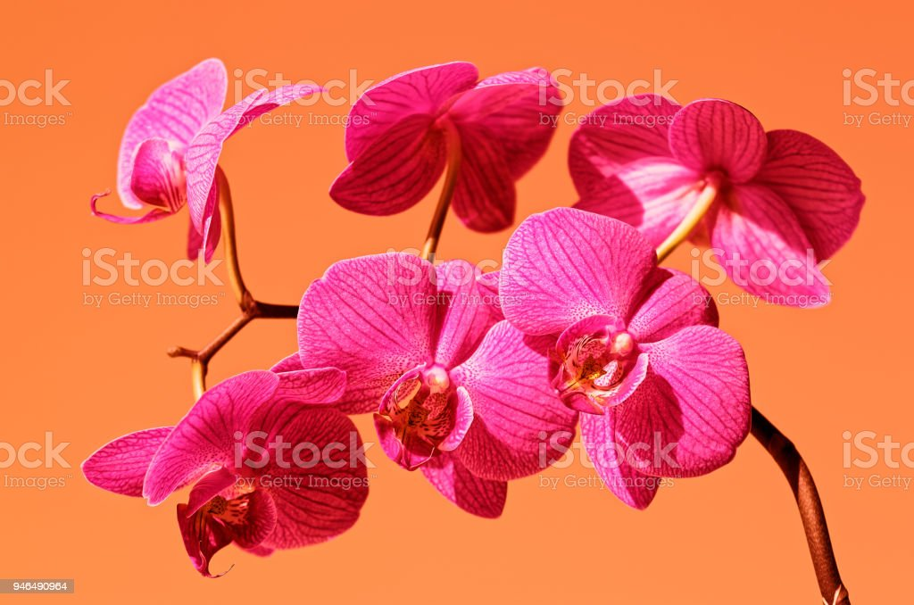 Phalaenopsis Orchid In Bloom Stock Photo Download Image Now Istock