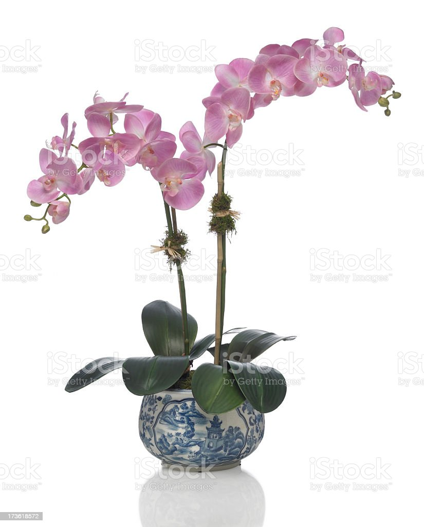 Phalaenopsis Orchid in Porcelain vase on a white background stock photo