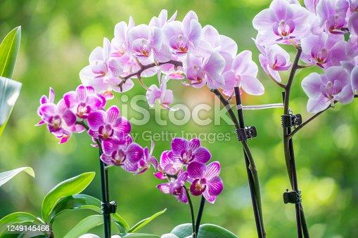 Phalaenopsis orchid miniature hybrids named Manhattan