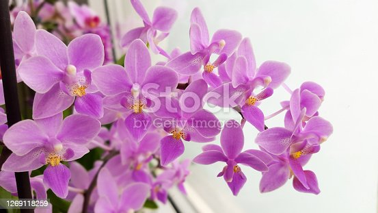 Phalaenopsis orchid miniature hybrids named equestris
