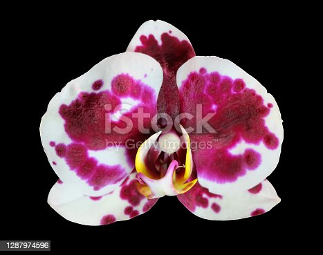 Phalaenopsis orchid flower with burgundy spots on a white background, Murcia cultivar, macro photography, isolated on a black background.