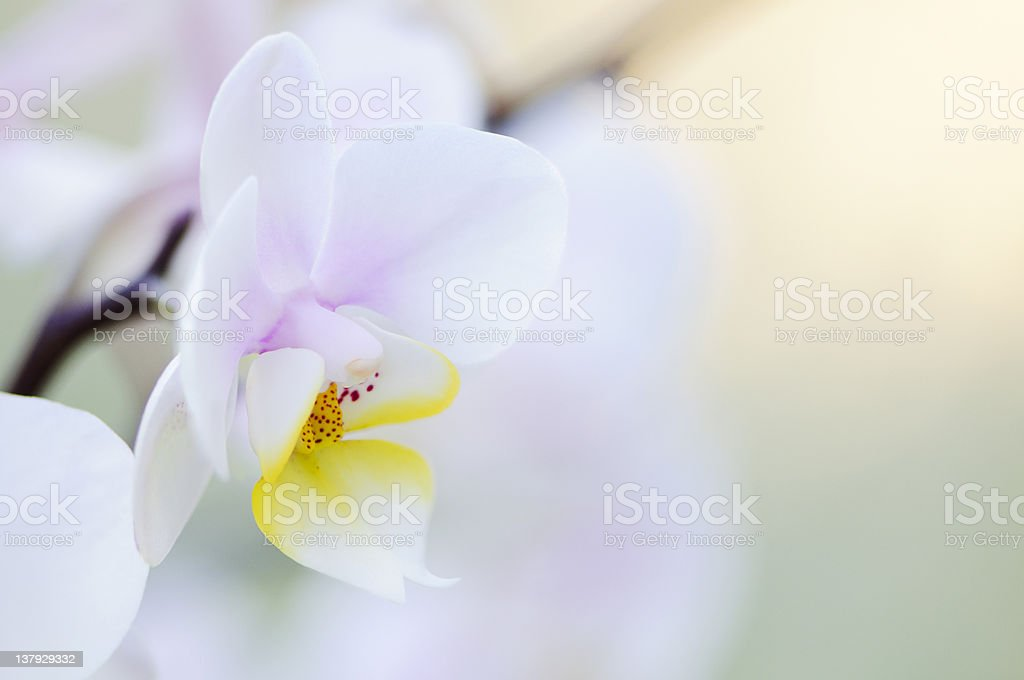 Phalaenopsis orchid royalty-free stock photo