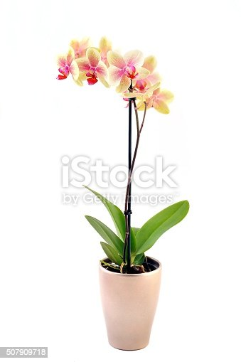 Orange, yellow and pink stripy phalaenopsis orchid in  pot, isolated on white.