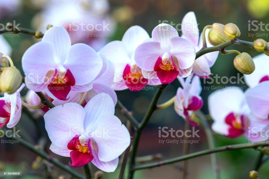 Phalaenopsis Orchideen Blumen blühen im Frühling schmücken die Schönheit der Natur. – Foto