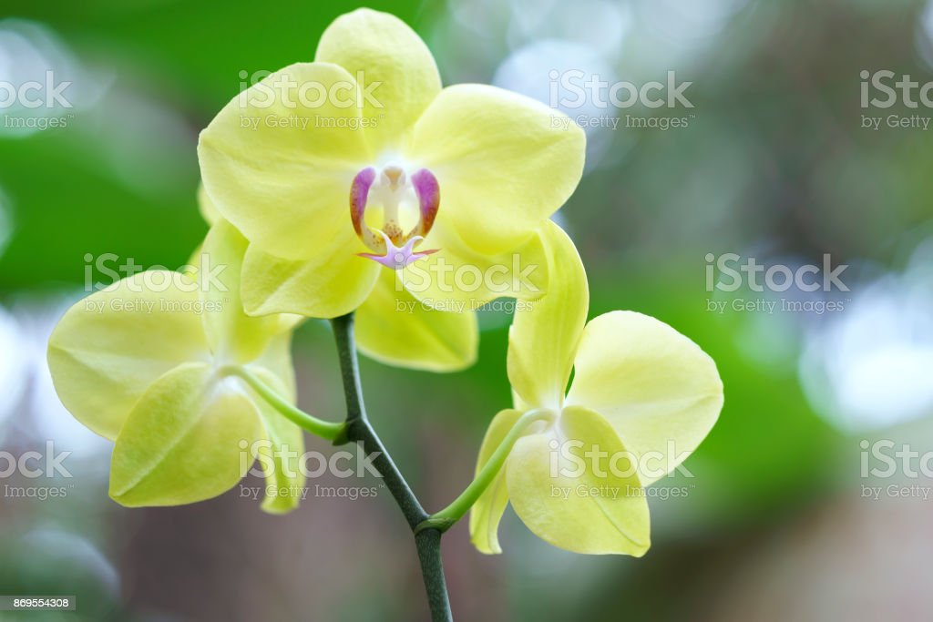 Phalaenopsis orchids flowers in bloom in adorn the beauty of nature stock photo