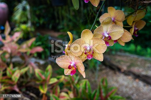 Phalaenopsis Orchids flowers with blur of backgrounds