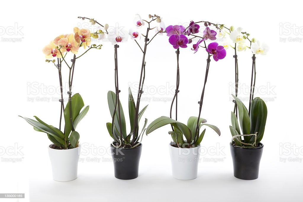 Phalaenopsis orchids in flower pot royalty-free stock photo