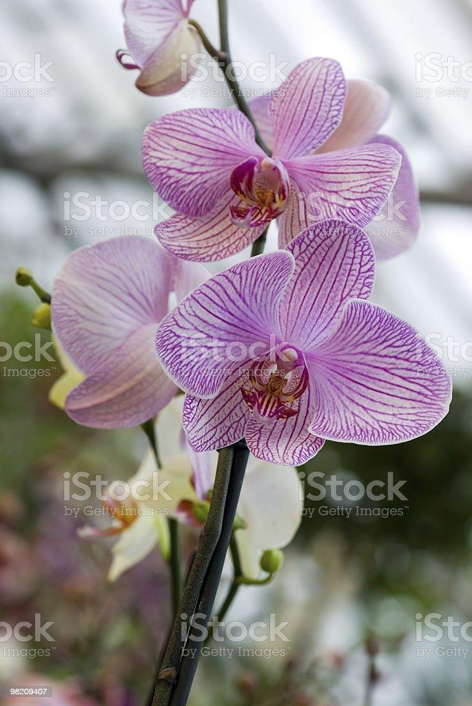 Phalaenopsis royalty-free stock photo