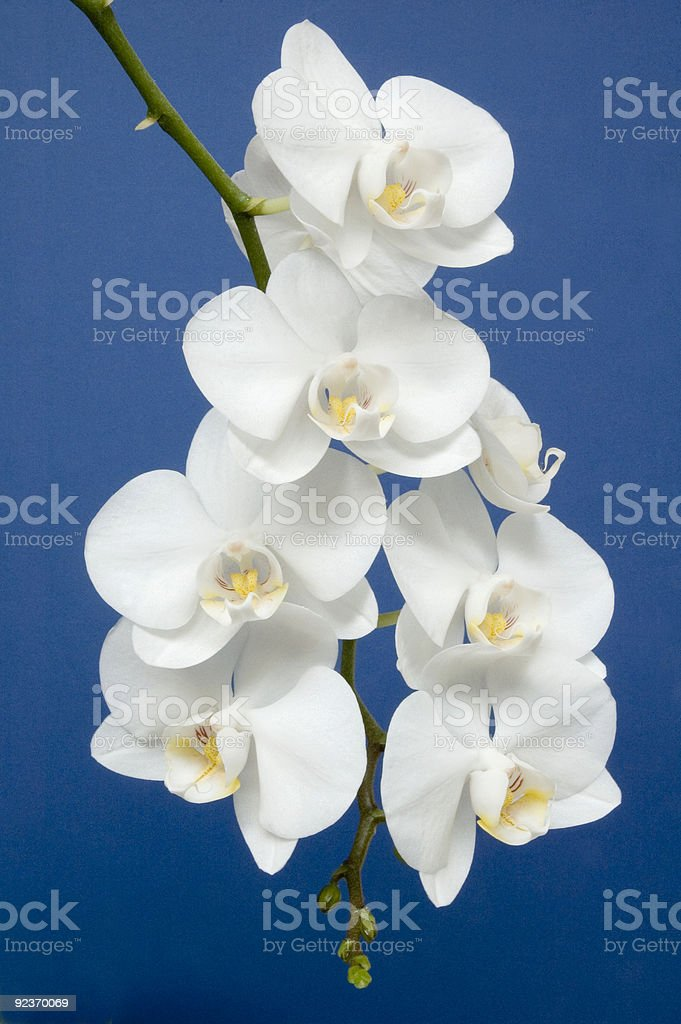 Phalaenopsis the Moth Orchid royalty-free stock photo