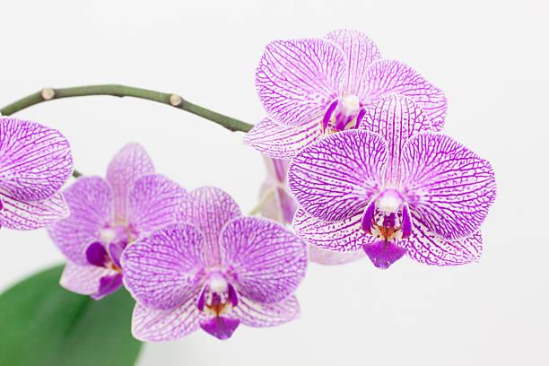 Phalaneopsis Blumen blühen – Foto