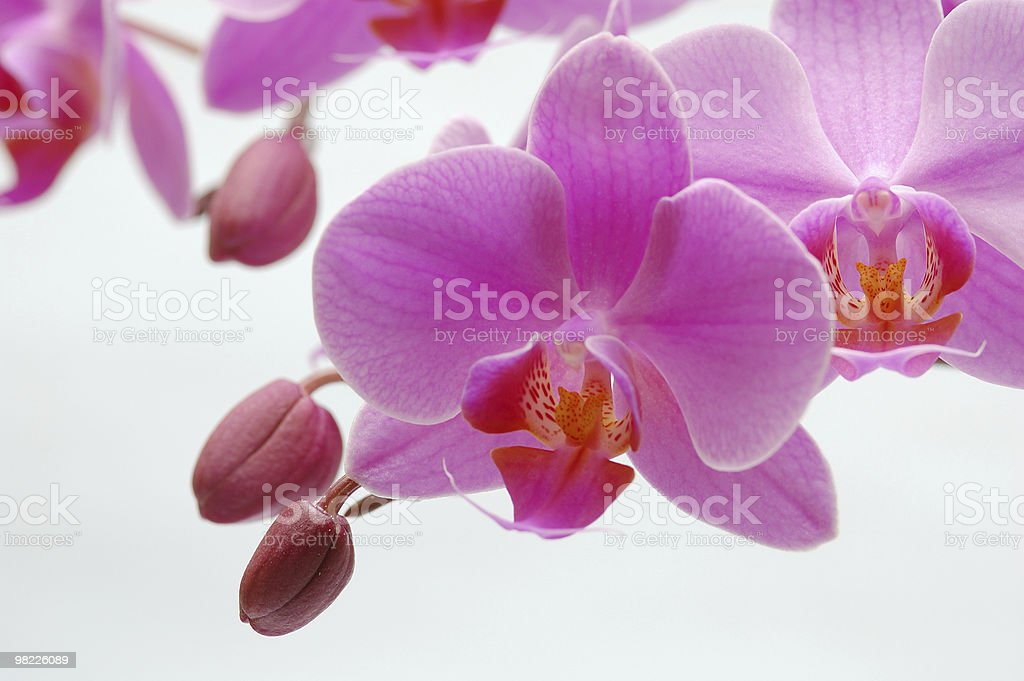 Phalaneopsis royalty-free stock photo