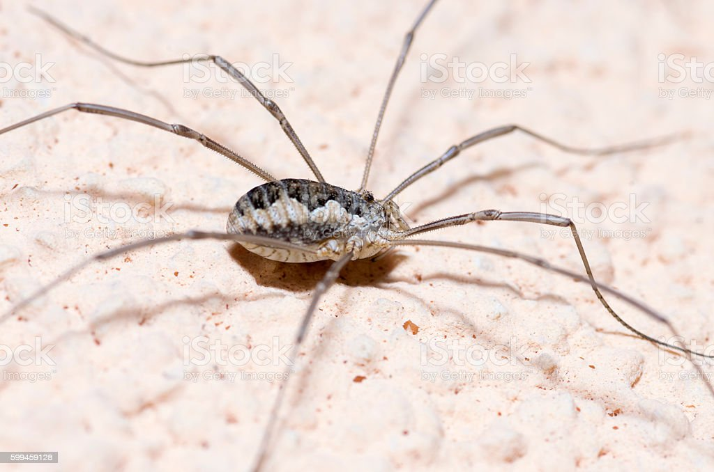 Phalangium opilio the harvestman arachnid stock photo