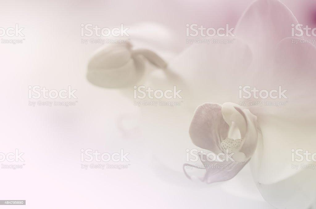 Phaleanopsis orchid fondo suave - foto de stock