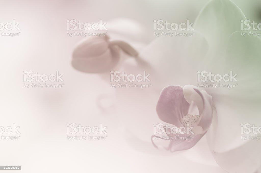 Phaleanopsis orchid soft background stock photo