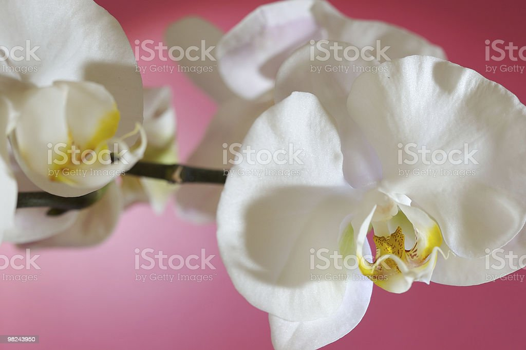Phalenopsis royalty-free stock photo