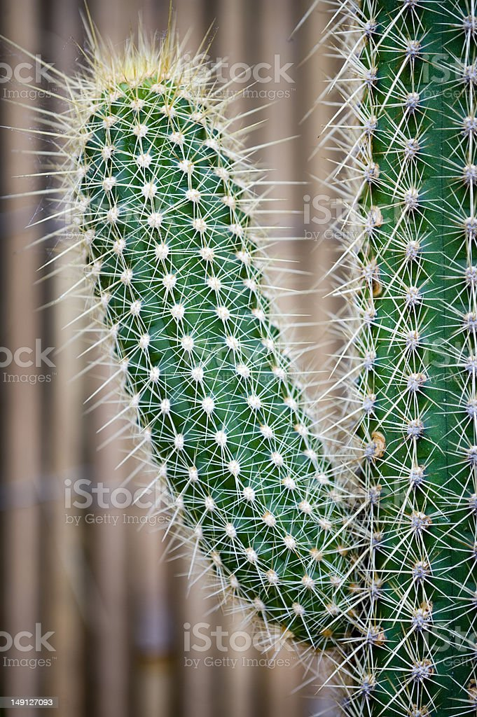 phallic shaped cactus cactus spiky succulent green plants with spines shaped like a phallus Branch - Plant Part Stock Photo
