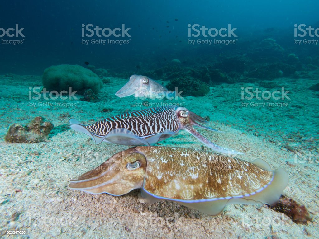 Pharao Cuttlefish mating on a coral reef Pharao Cuttlefish mating on a coral reef Animal Behavior Stock Photo
