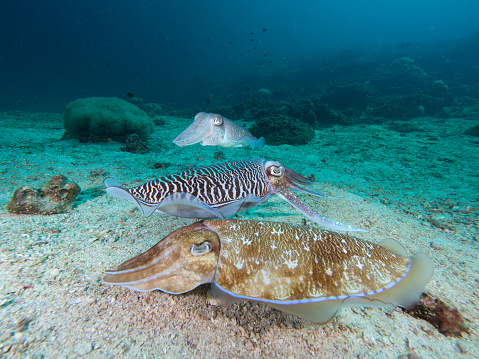 Pharao Cuttlefish Mating On A Coral Reef Stock Photo - Download Image Now
