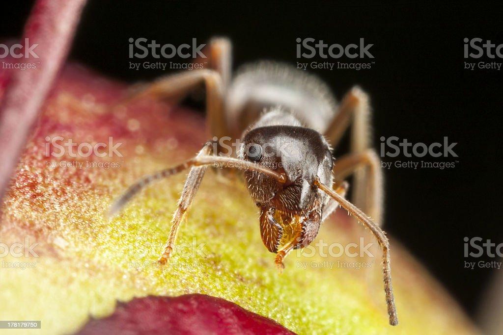 Pharaoh ant on peony stock photo