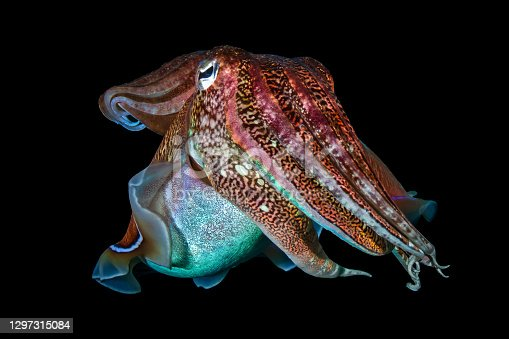 Pharaoh Cuttlefish (Sepia pharaonis) on a dark tropical coral reef in Thailand (Richelieu Rock).