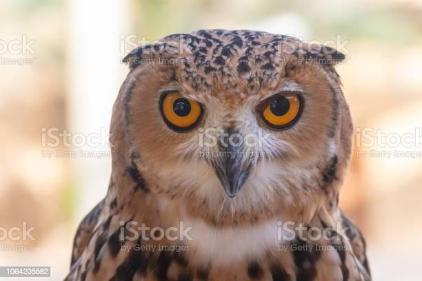Pharaoh eagle owl up close picture id1064205582?b=1&k=6&m=1064205582&s=612x612&h=vkda pnebxzjeywj5gnwsgzmxfadfpqqrvcs3fyciau=